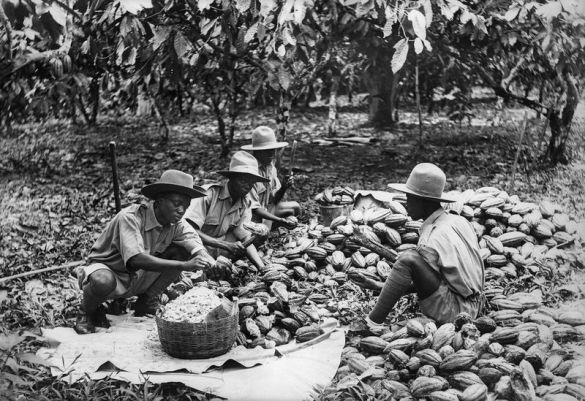 ghana-cocoa-harvest.0